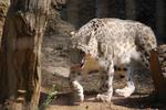 多摩動物公園 雪豹
