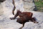 多摩動物公園 水を飲むオランウータンの子供
