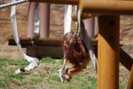 多摩動物公園 ぶらりオランウータンの・・