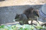 多摩動物公園 ワラビー
