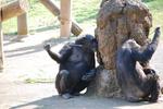 多摩動物公園 チンパンジー