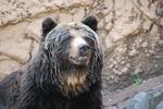 多摩動物公園 ヒグマのなんだか悲しい顔