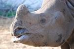 多摩動物公園インドサイのお顔アップ