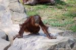多摩動物公園 オランウータン