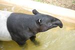 多摩動物公園 マレーバクの水浴び